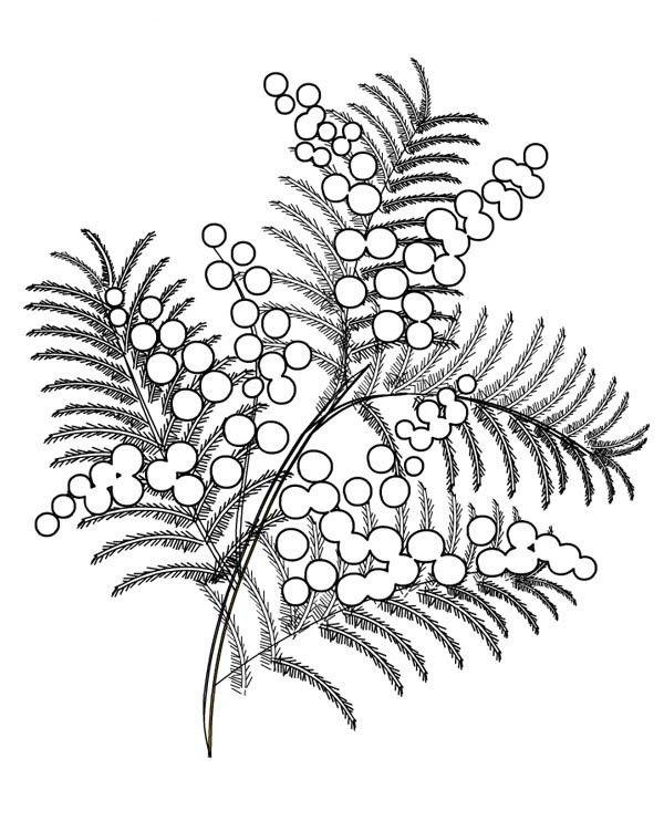 черно мимоза белая картинка